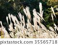silver grass, zebra grass, autumn 35565718