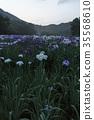 lake kagurame, iris, iris garden 35568610