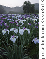 iris, iris garden, bloom 35568613
