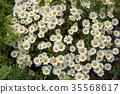 marguerite, bloom, blossom 35568617