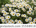marguerite, bloom, blossom 35568618