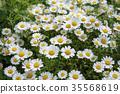 marguerite, bloom, blossom 35568619