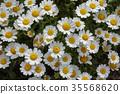 marguerite, bloom, blossom 35568620