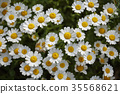 marguerite, bloom, blossom 35568621