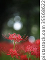 cluster amaryllis, red spider lily, autumn 35568622