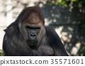 大猩猩 西方大猩猩 動物 35571601