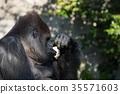 大猩猩 西方大猩猩 動物 35571603