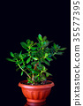 Crassula ovata or money tree succulent plant 35577395