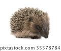 baby hedgehog in studio 35578784