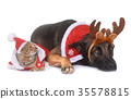 christmas malinois and cat 35578815
