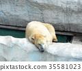 北極熊昏昏欲睡 35581023