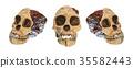 Set of Australopithecus africanus Skull . 35582443