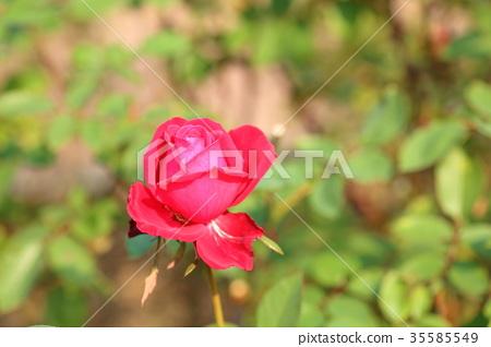 紅玫瑰花羅布羅伊 35585549