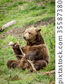 Grizzly with a stick. 35587380