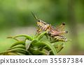Large locust on a plant. 35587384