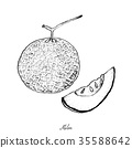 Hand Drawn of Ripe and Sweet Melon 35588642