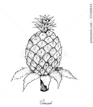 Hand Drawn of Fresh Sweet Organic Pineapple 35588644