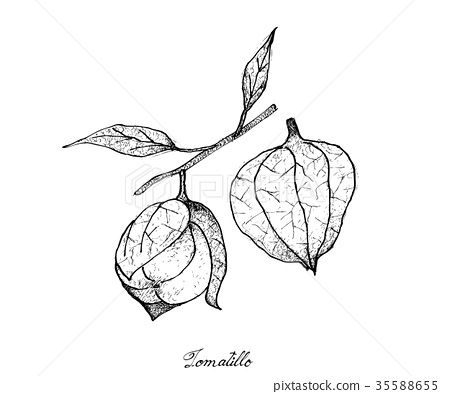 Hand Drawn of Fresh Tomatillos in White Background 35588655