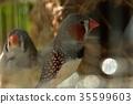 zebra finch, nishiki flowers and birds, nishikihanatori 35599603