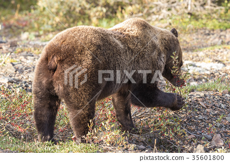 Grizzly Bear 35601800