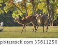 나라 공원의 사슴 35611250