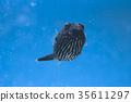 복어, 어류, 바닷물고기 35611297