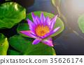 Purple lotus 35626174