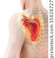 3D illustration of Scapula, medical concept. 35626727