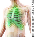 3D illustration of Sternum, medical concept. 35626728