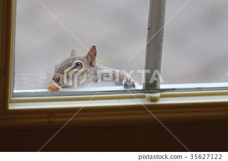 squirrel, squirrels, window 35627122