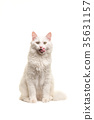 White turkish angora cat sitting licking its lips  35631157