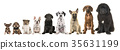 Nine different breed puppy dogs on a row 35631199