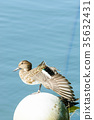duck, shorebird, water 35632431