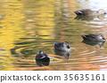 斑嘴鴨 水雞 鳥兒 35635161