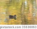 鳥兒 鳥 赤頸鴨 35636063