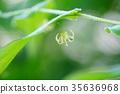 在雨后的早晨,竹岛兰花在北阿尔卑斯山的山路上晃动着小花。 35636968
