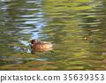 鳥兒 鳥 赤頸鴨 35639353