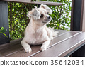 Dog sitting in cafe looking at something 35642034