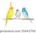 長尾鸚鵡 虎皮鸚鵡 多情鸚鵡 35643795