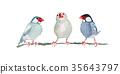 禾雀 爪哇雀 小鸟 35643797