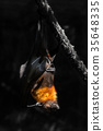 flying foxes in the wild nature 35648335