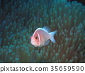 fish, fishes, anemone 35659590
