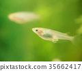 freshwater fish, medaka rice fish, fish 35662417