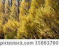 ginkgo, ginko, tree 35663760