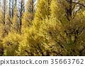 ginkgo, ginko, tree 35663762