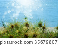 Close up Spinifex littoreus grass 35679807