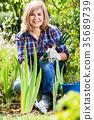 woman, planting, corn-flag 35689739