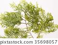 hiba, white‐cedar leaf, japanese cypress 35698057