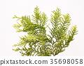 hiba, white‐cedar leaf, japanese cypress 35698058