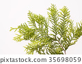 hiba, white‐cedar leaf, japanese cypress 35698059